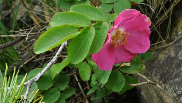 八方尾根は、花満開