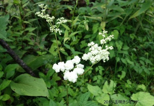 玉咲きシモツケ