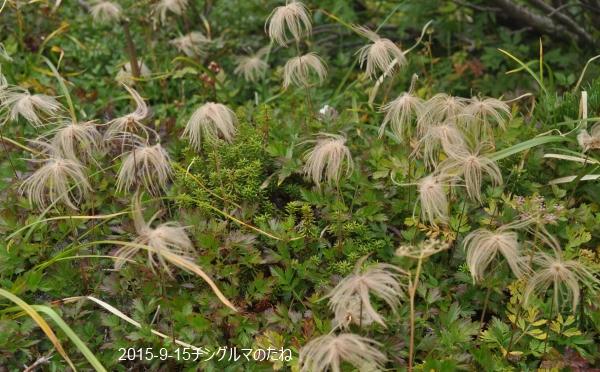 チングルマ種